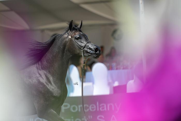 Wasalia, Al Khalediah European Arabian Horse Festival 2016, by Ewa Imielska-Hebda