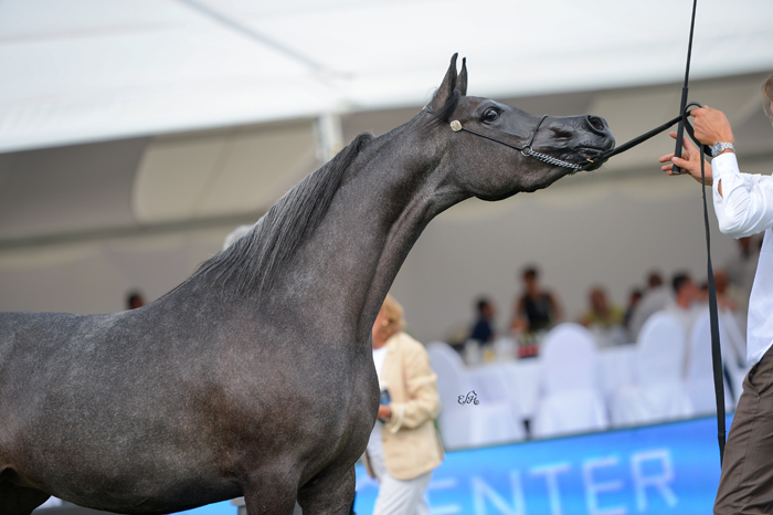 Wersa, Al Khalediah European Arabian Horse Festival 2015, by Ewa Imielska-Hebda