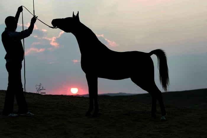Po konie do Dubaju