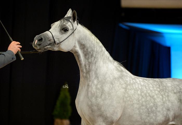 Winter Star Horse Auction 2019. Adelita sprzedana za 240 tys. euro. Araby vs folbluty: 13:0