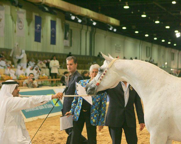 Szejk Hamad Bin Ali Al Thani pokazuje Amirę Al Shaqab w Dubaju. Fot. z archiwum Szejka Hamada Bin Ali Al Thani
