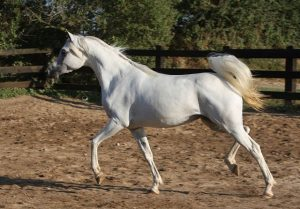 Aura EA, from Equus Arabians archive