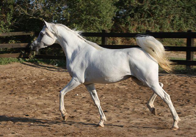 Aura EA, fot. archiwum Equus Arabians