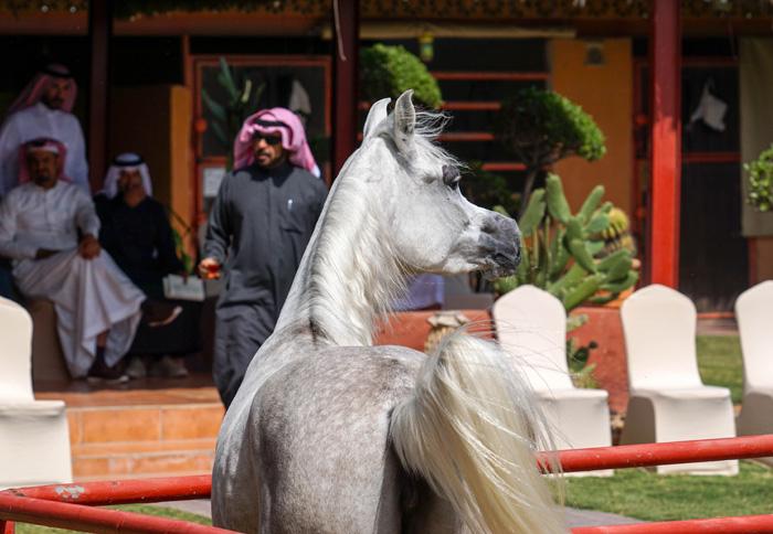 Aya Kenana, Kenana Arabians, by Monika Luft