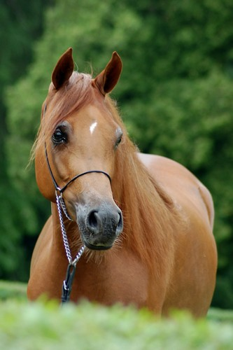 Cenoza – 5th pl. fillies 2 and 3yo B, by Zuzanna Zajbt