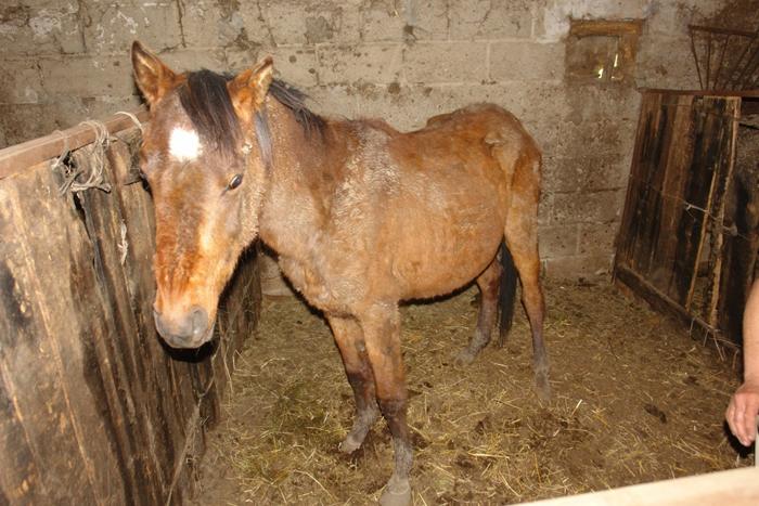Jeden z koni, w złym stanie, w stajni. Fot. PdZ/VIVA