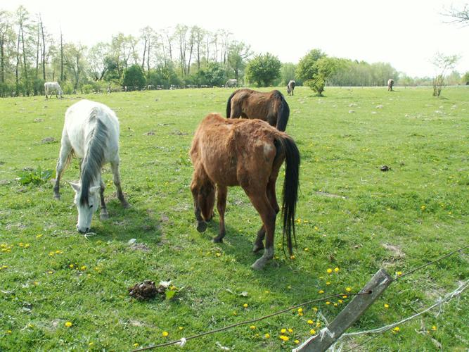 Zwierzęta dopiero od soboty mogły wypasać się na pastwisku. Fot. PdZ/VIVA