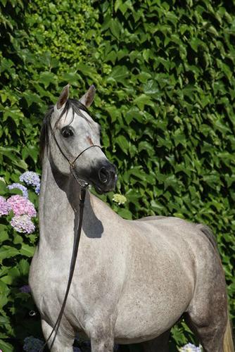 Cyrea EA, fot. archiwum Equus Arabians