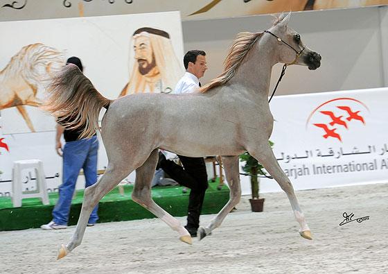 Ogierek Excalibur E.A. 2011 (Shanghai E.A. - Essence of Marwan E.A.), hod/wł. Equus Arabians, fot. Irina Filsinger