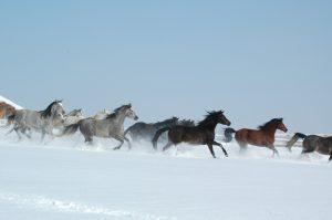 Konie w Kielnarowej, fot. Tadeusz Budziński