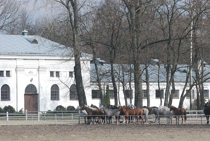 Popołudniami konie podchodzą bliżej stajni, oczekując na wieczorne karmienie, fot. Mateusz Jaworski