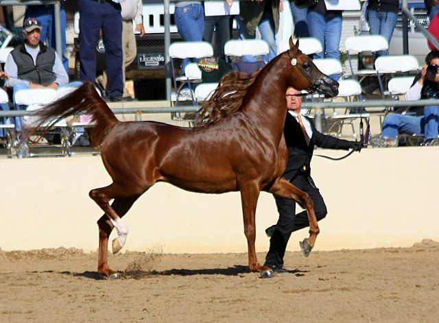 Magnum Psyche, Senior Champion Stallion by Nancy Pierce