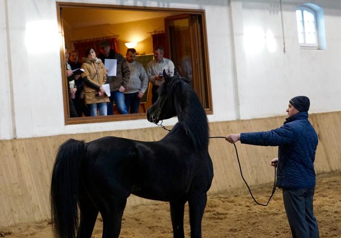 Prezentacja ogiera Nowar Al Khalediah, fot. Krzysztof Dużyński