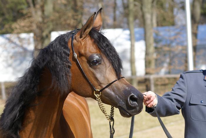 Pianissima, Polish Arabian Horse Breeders Society meeting, Janów Podlaski 2012, by Krzysztof Dużyński