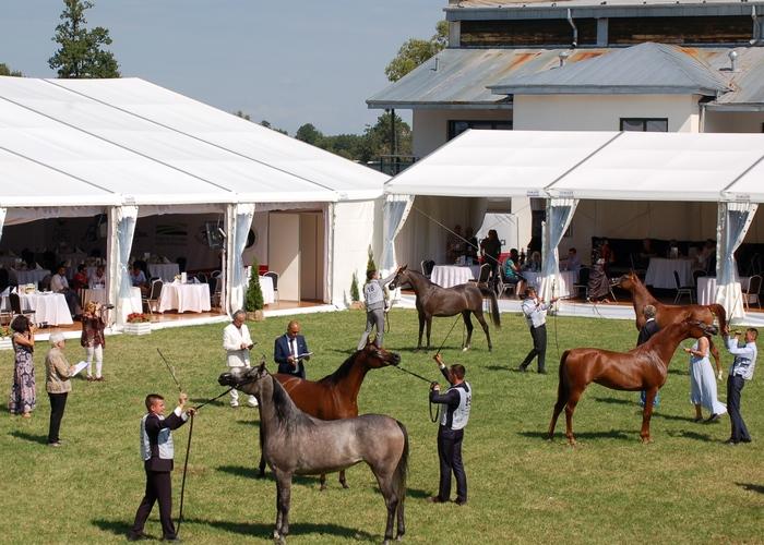 Krajowa hodowla koni arabskich w świetle najważniejszych pokazów w Polsce
