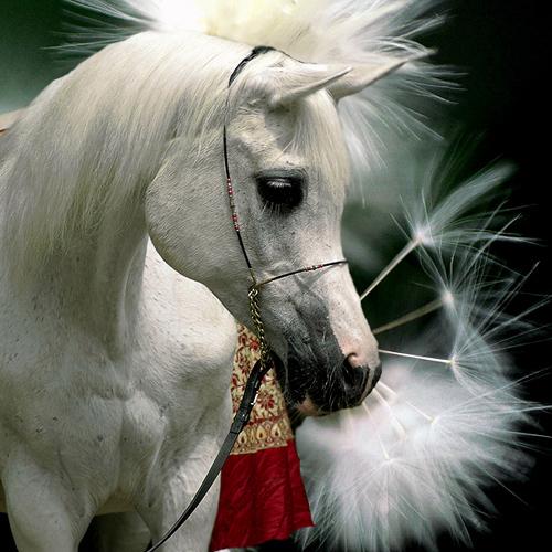 Zalia Arabians: od Zaliczki do Parnassusa