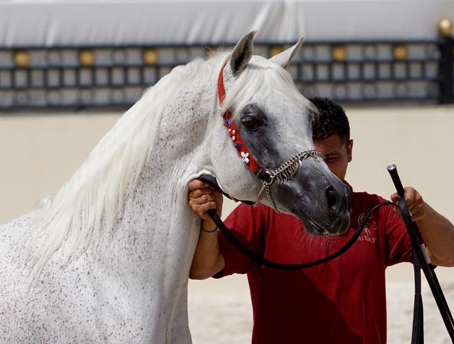 Safir Al Rayyan, fot. Monika Luft
