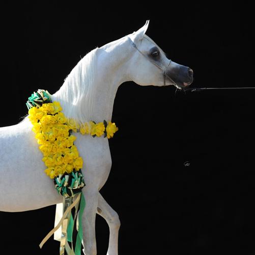 Shanghai E.A., fot. z archiwum Equus Arabians