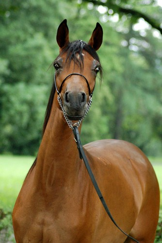 Wołogda – 1st pl. Yearling Fillies C, by Zuzanna Zajbt