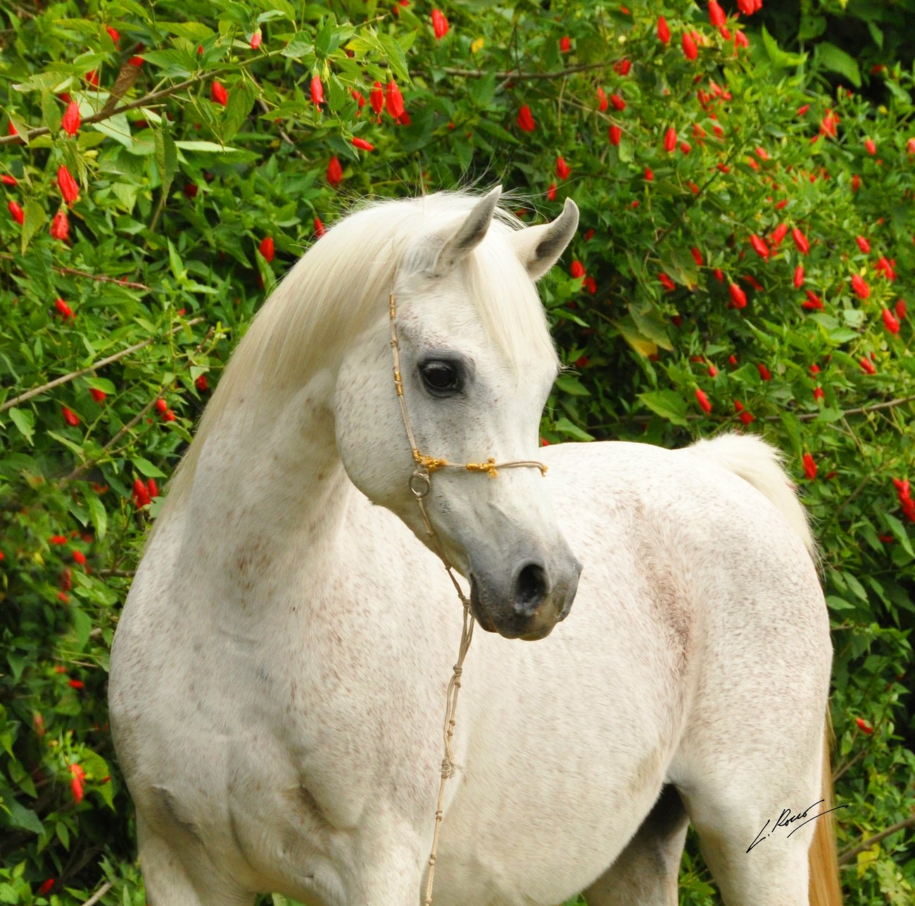 Jullye El Ludjin (Ludjin El Jamaal – NV Justa Dream), probobaly one of the most special mares ever bred by Lenita Perroy. She appears twice in the pedigree of El Jahez WH, by Luiz Rocco