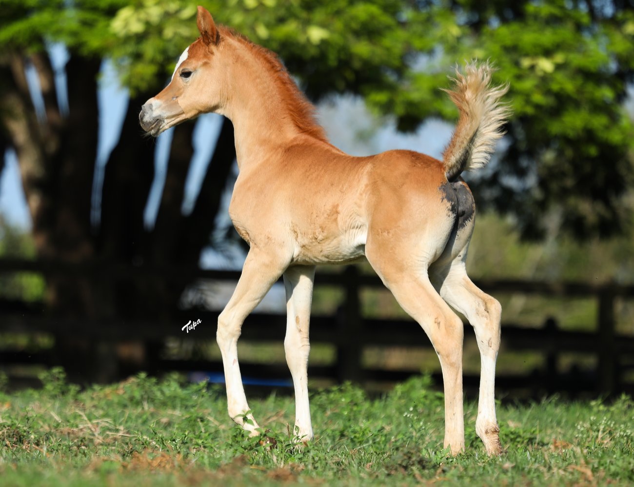 The filly by El Jahez WH – NN Sultana, by Tupa