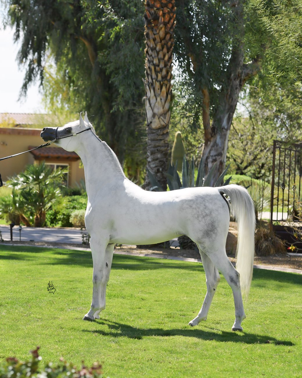 One of the great daughters of El Jahez WH – Italya Meia Lua (out of Ivana El Johann), by Stuart Vesty