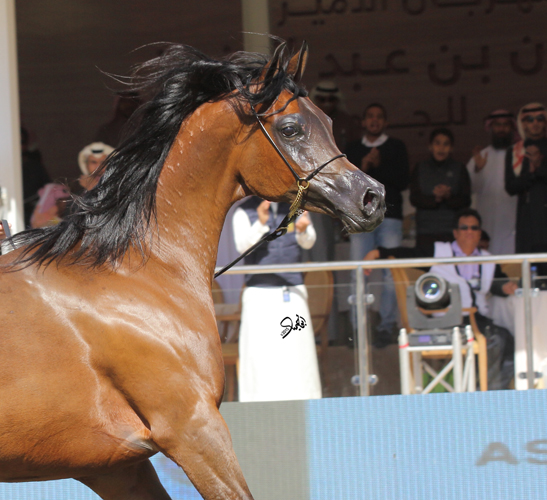 Pinga during the PSAIAHF 2016 in the KSA, Gold Medal Senior Mare, after winning her class with 93,7 points, by Mohammed Abu Haimed