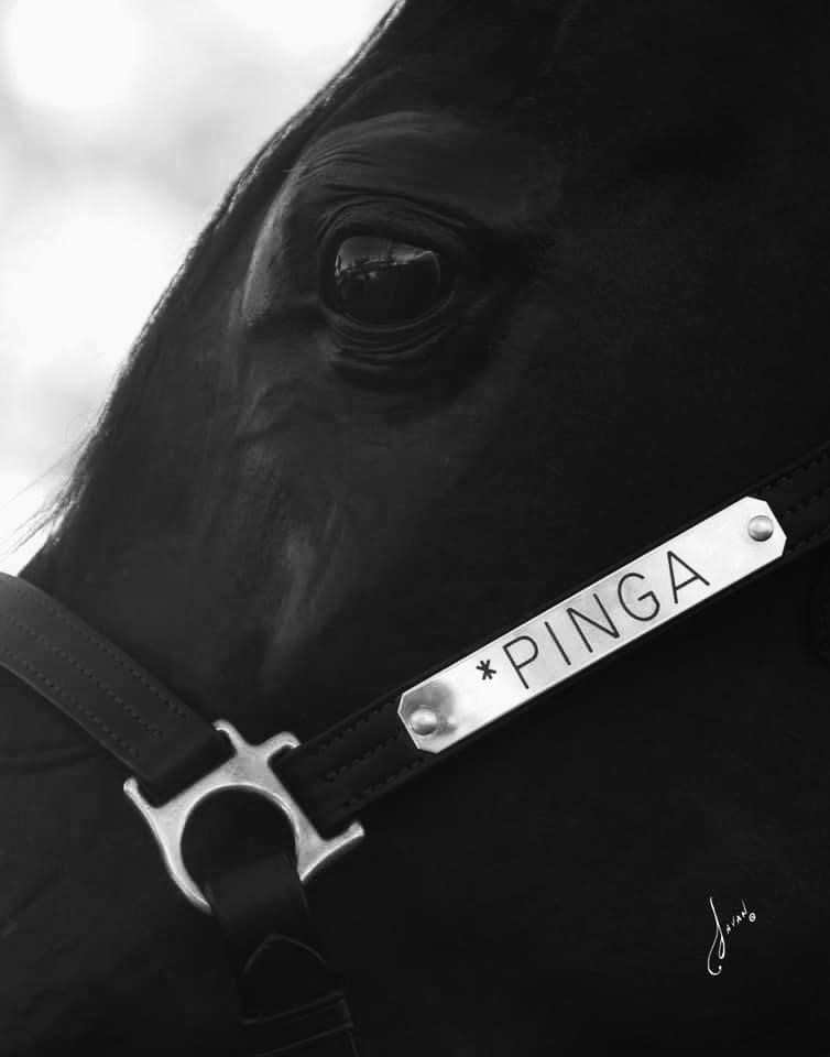 Pinga (Gazal Al Shaqab - Pilar by Fawor), by Javan