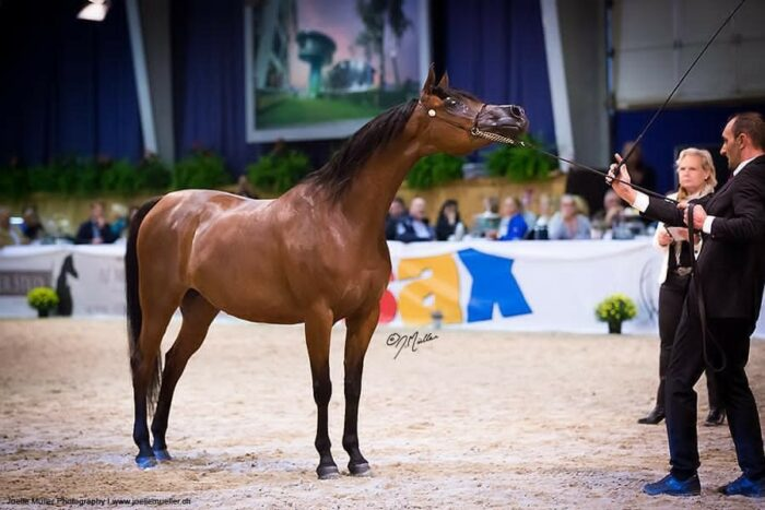 Pinga being shown at All Nations Cup 2015 in Aachen, by Joelle Müller Photography