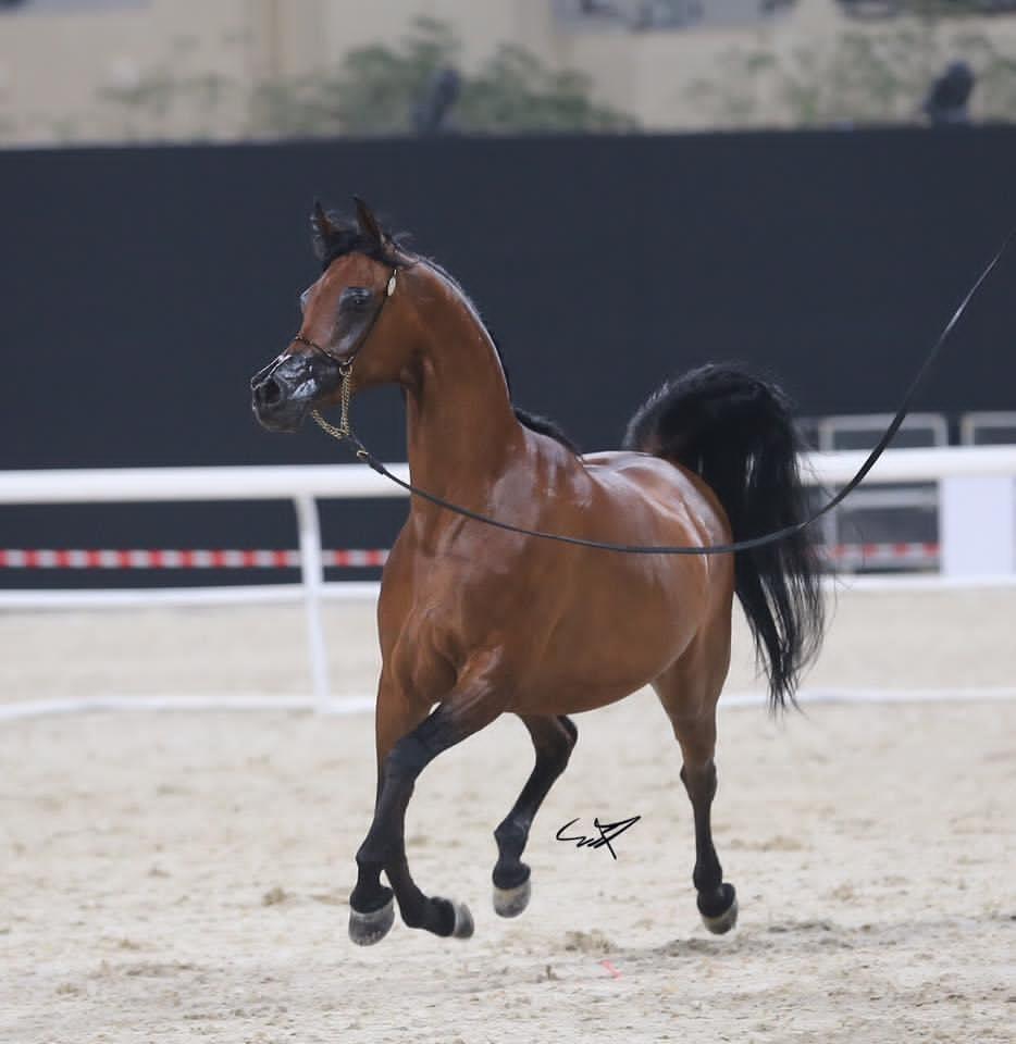 Pinga during the Qatar International Arabian Horse A Show in 2016