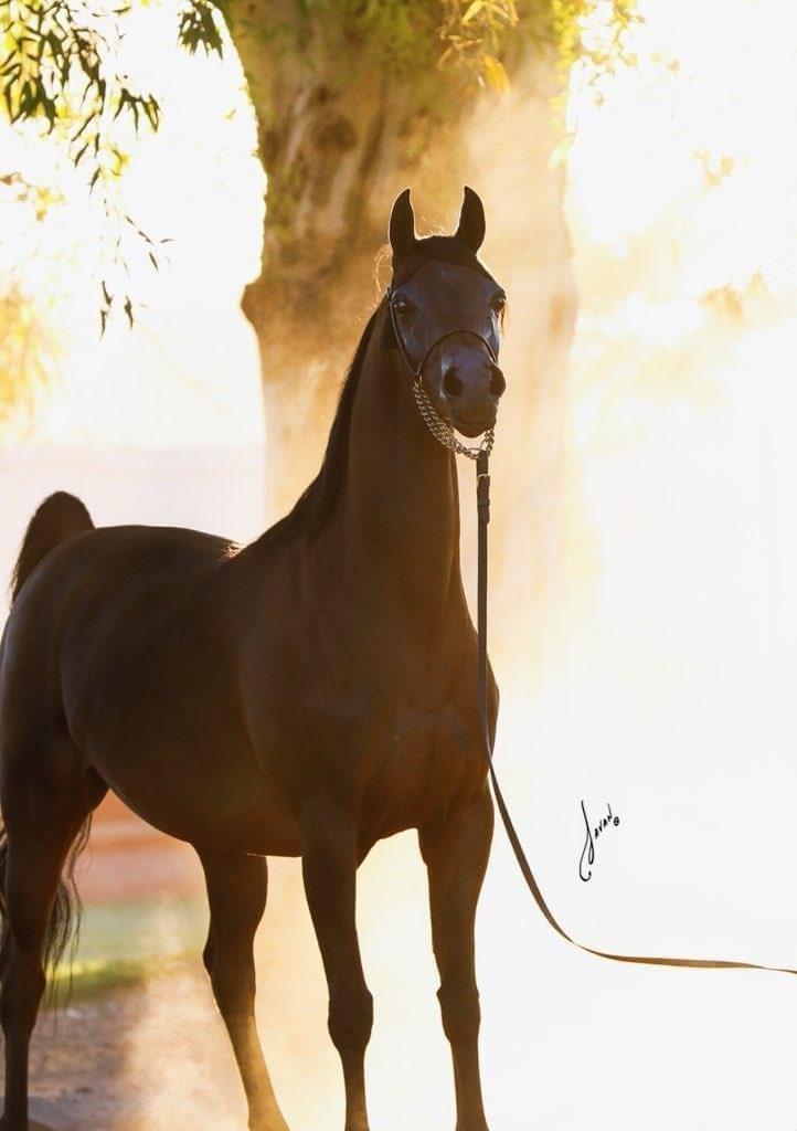 Pinga, sfotografowana podczas dzierżawy do Cedar Ridge Arabians w USA, fot. Javan