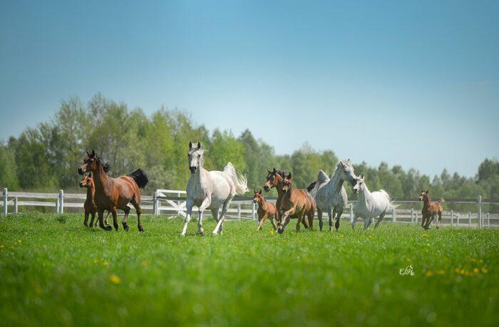 Konie w drodze na pastwiska, wiosna 2021, fot. Ewa Imielska-Hebda