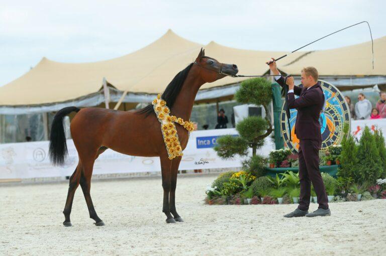 Złoty Medal Klaczek Rocznych - Bogini Róż PA (Kahil Al Shaqab - Black Rose), fot. Sylwia Iłenda
